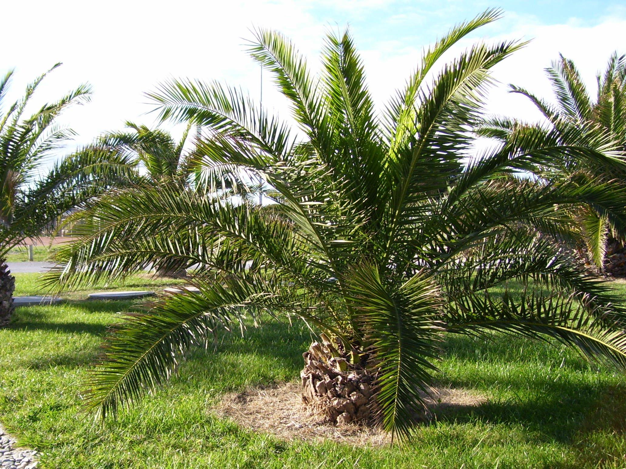 Palmiers nains - Type de palmier ...